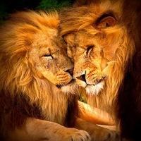Схема для вышивки крестом «Лев и львица 2 » 40 Х 40